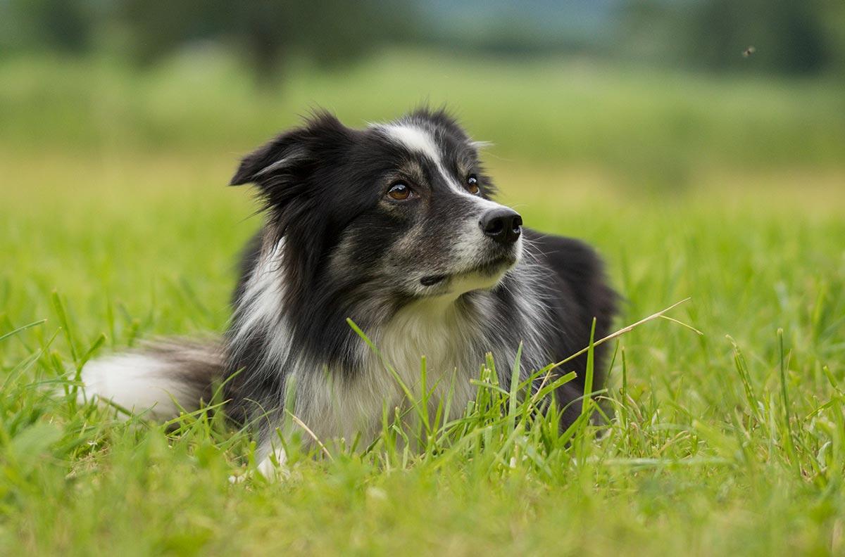 Obrázok pre kategóriu Psi
